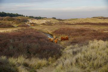 Schotse hooglander in duin van Dirk van Egmond