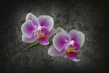 zwei Orchideen von Dieter Beselt