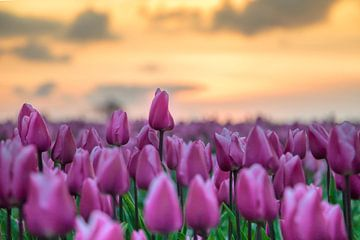 Tulpen mit Sonnenuntergang von robertjan boonstra
