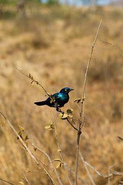 oiseau bleu en afrique sur Christiaan Van Den Berg