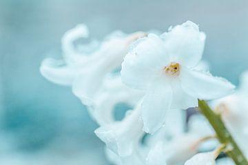 Die Kunst der Natur... (Blume, Hyazinthe, Schnee, Liebe, Frühling) von ElkeS Fotografie