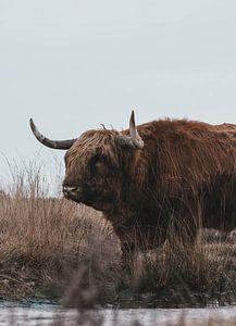 Schottischer Highlander von BY MEAGAN
