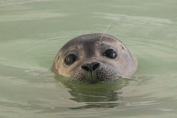De jonge zeehond van Fotografie Fryslân