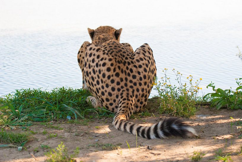 Jachtluipaard ligt bij de waterkant van Miranda Zwijgers