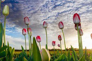 Tulpen bij de ondergaande zon