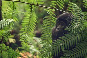 Nieuwsgierig gorilla jong van