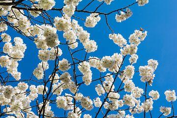 witte bloesem tegen superblauwe lucht van Peter van Mierlo