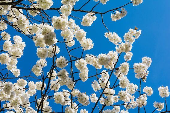 witte bloesem tegen superblauwe lucht van Peter v Mierlo