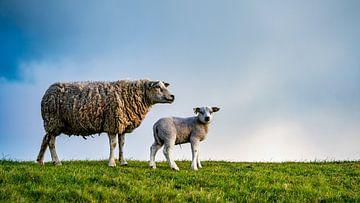 Moeder met dochter - lammetjes op Texel van