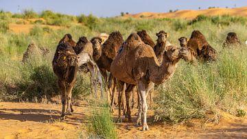 Kamele wandern durch die Sahara, Tunesien von Jessica Lokker