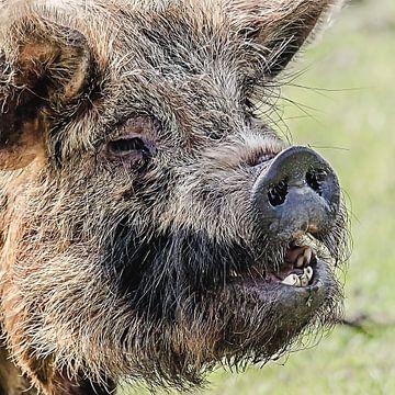 Das lächelnde Schwein von Fotografie Jeronimo
