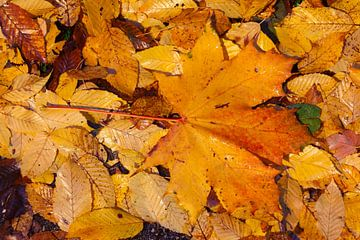 Feuille d'érable, feuilles d'automne colorées gisant sur le sol, Allemagne