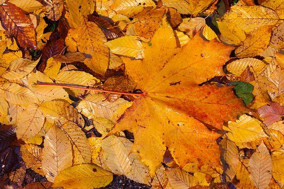 Ahornblatt, buntes Herbstlaub auf dem Boden liegend, Deutschland