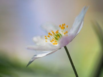 Anemoontje, bosanemoon, bloem, sfeer, pastel, macrofotografie, bloemen, bos van Anne Loos