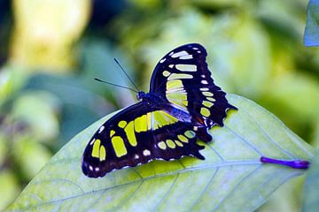 Vlinder groen en zwart von Ruud Nieterau