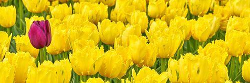 Een verdwaalde paarse tulp tussen de gele tulpen