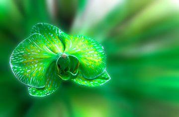 Green orchid flower  van