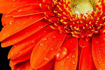 macro van rode gerbera bloem met dauw druppels van