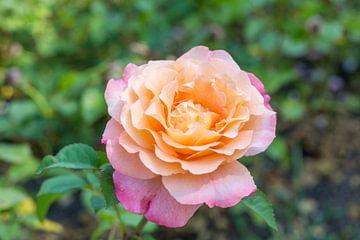 Rosa/gelbe Blume von Yannick uit den Boogaard