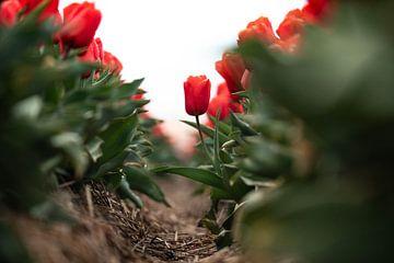 eine widerspenstige Tulpe im Tulpenfeld von Marieke Smetsers