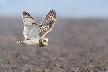 Short-eared owl sur Pim Leijen