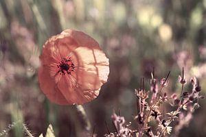 Poppy in the backlight