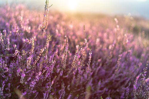 Bloeiende paarse heide op de Veluwe