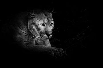 Eine stolze schöne Raubkatze sitzt in der Dunkelheit. Katze im Nachtwald, schwarzer Hintergrund. Pum von Michael Semenov