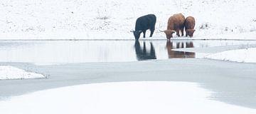 Schotse Hooglanders in winters Geuzenwaard van Jeroen Kleverwal