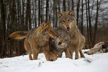 spelende wolven van Ronald Jansen