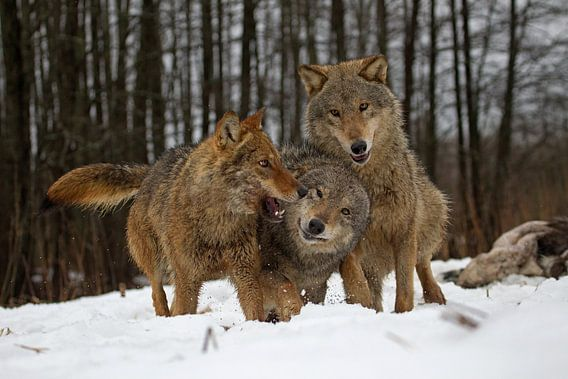spelende wolven