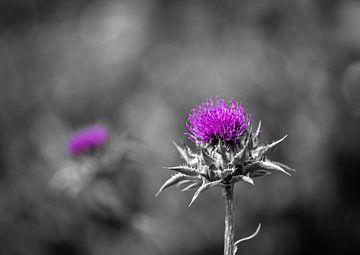 Distel in voller Blüte von Patrick Schwarzbach