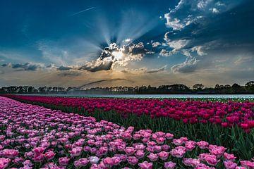 Rosa Tulpen mit schönem Himmel von Fred van Bergeijk