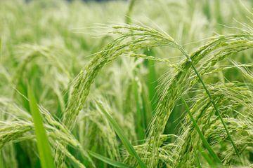 Rijst plant van Martijn Stoppels