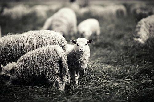 Kleines Lamm I