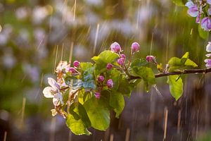 Bloesem in de regen van Marinus de Keijzer