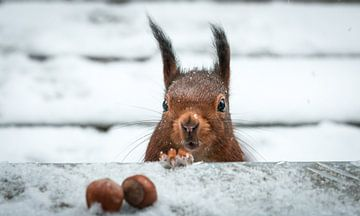 Eichhörnchen im Schnee von Stefan Mosert