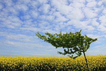 Windflüchter im Rapsfeld van Ostsee Bilder