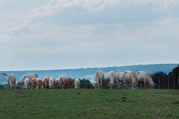 Grazende koeien in het Geuldal van Cilia Brandts