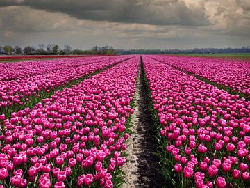 Lila blühende Tulpen im Zwiebelfeld in Holland von Robin Jongerden