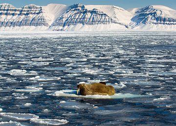 Walrus op Spitsbergen van Wim den Besten
