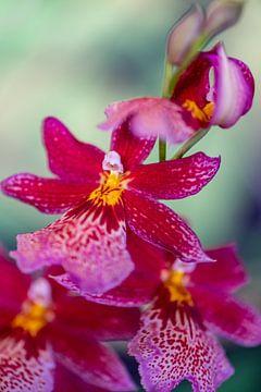 Orchideeënpluim van Steffen Gierok
