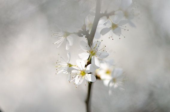 Witte bloesem van Lucia Kerstens