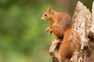 Eichhörnchen im Wald von Marianne Jonkman