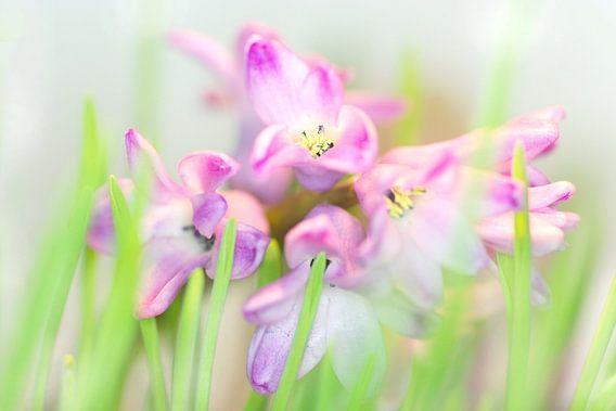 Hyacinth in pastel van Marlies Prieckaerts