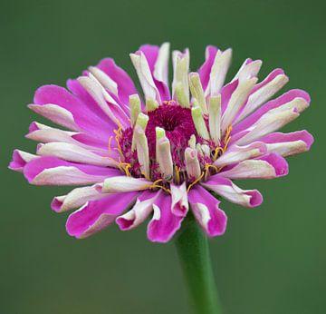 Roze zinnia van Ingrid Ronde