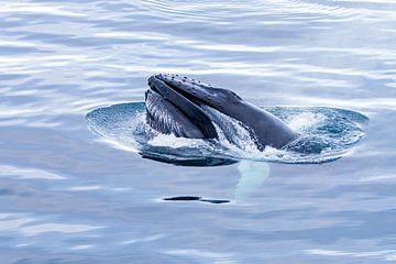 Bultrug walvis van Merijn Loch
