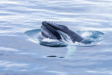 Buckelwal von Merijn Loch