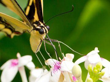 Close up van een drinkende geel-zwarte vlinder von Linda Heilmann
