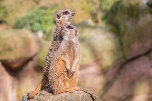 Stokstaartjes in Antwerpen Zoo. van